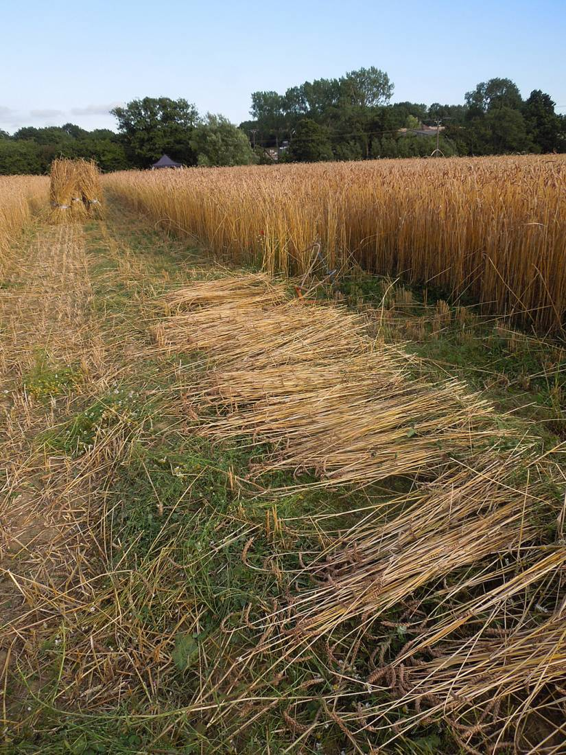 WoWo manual harvest - cutting with scythe and cradle - 7:07pm&nbsp;6<sup>th</sup>&nbsp;Aug.&nbsp;'15
