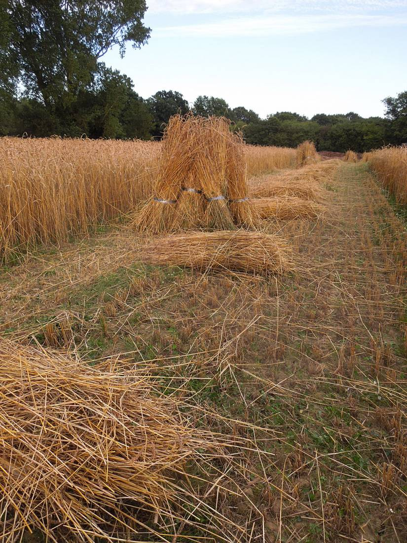 WoWo manual harvest - Orange Devon Blue Rough Chaff sheaved and stooked - 7:42pm&nbsp;6<sup>th</sup>&nbsp;Aug.&nbsp;'15