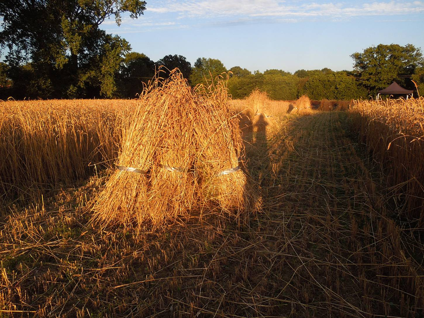 WoWo manual harvest- stooks after #1 - 8:09pm&nbsp;6<sup>th</sup>&nbsp;Aug.&nbsp;'15