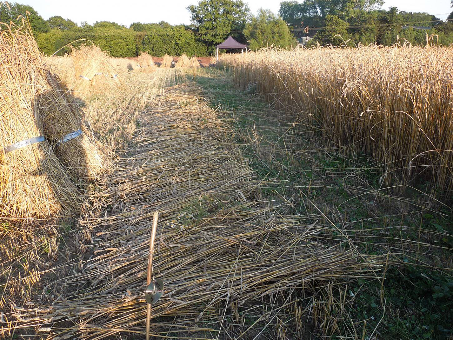 WoWo manual harvest- cutting with scythe and cradle, day #2 - 7:52pm&nbsp;7<sup>th</sup>&nbsp;Aug.&nbsp;'15