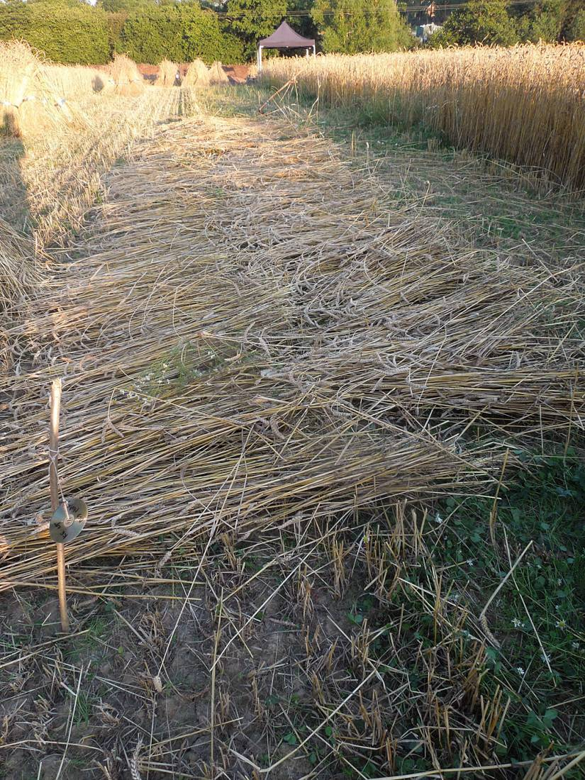 WoWo manual harvest- cutting with scythe and cradle, day #2 - 7:58pm&nbsp;7<sup>th</sup>&nbsp;Aug.&nbsp;'15