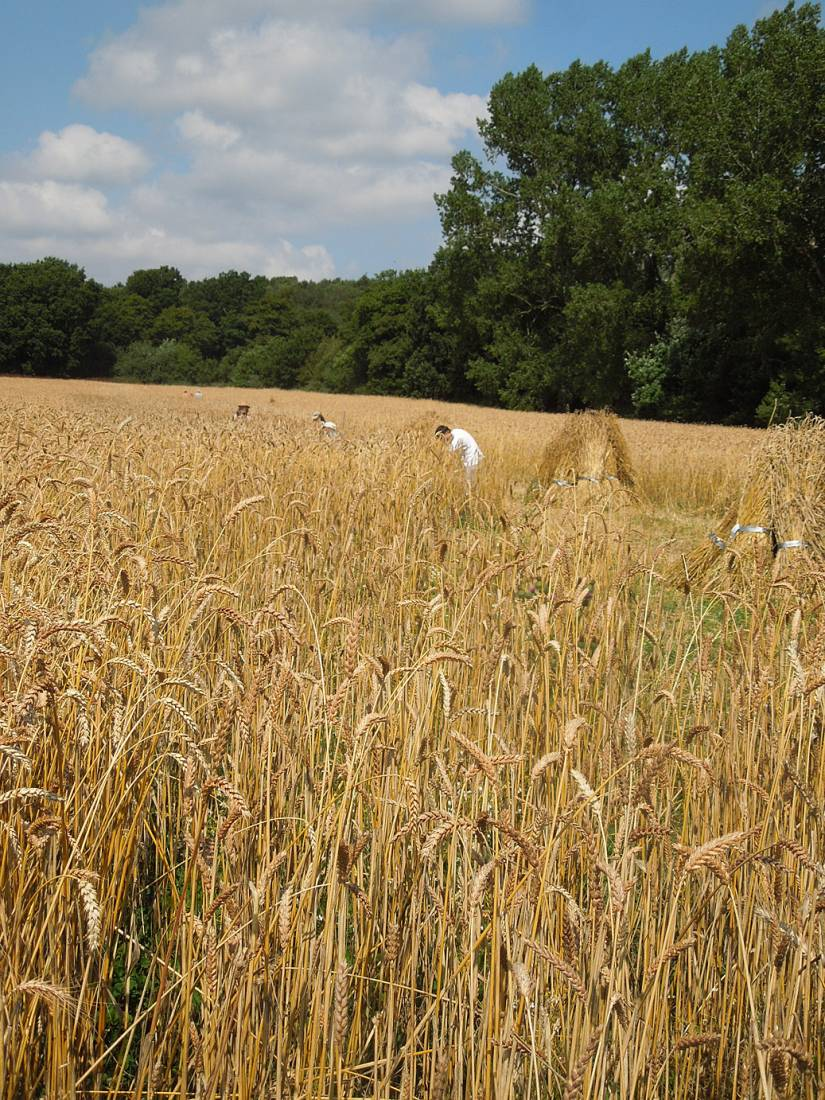 WoWo manual harvest - 11:29am&nbsp;8<sup>th</sup>&nbsp;Aug.&nbsp;'15
