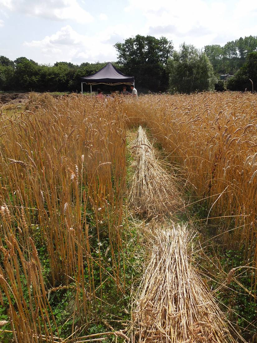 WoWo manual harvest - 11:46am&nbsp;8<sup>th</sup>&nbsp;Aug.&nbsp;'15