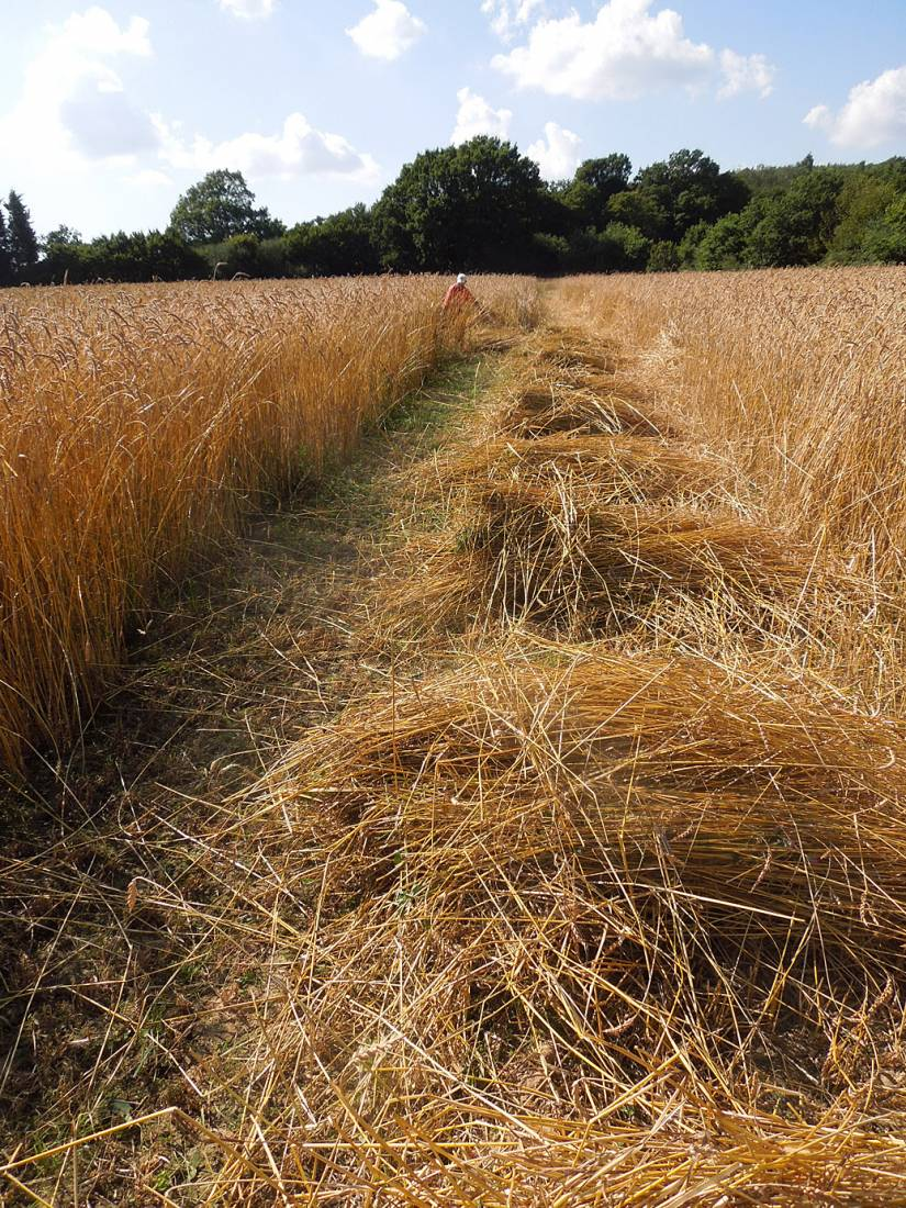 WoWo manual harvest - Illinois scything - 4:08pm&nbsp;8<sup>th</sup>&nbsp;Aug.&nbsp;'15