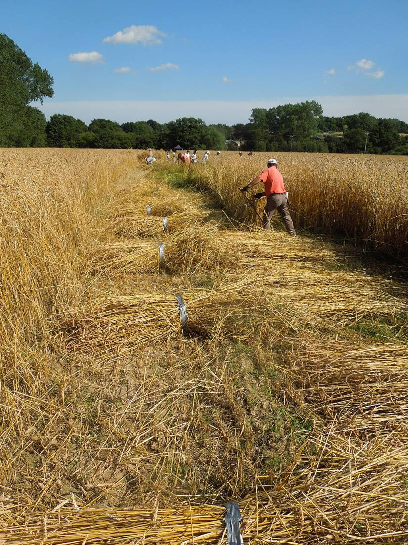 WoWo manual harvest - Illinois scything - 4:14pm&nbsp;8<sup>th</sup>&nbsp;Aug.&nbsp;'15