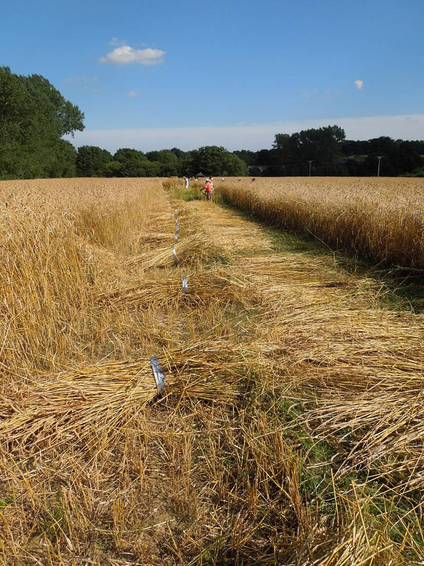 WoWo manual harvest - Illinois scything - 4:19pm&nbsp;8<sup>th</sup>&nbsp;Aug.&nbsp;'15