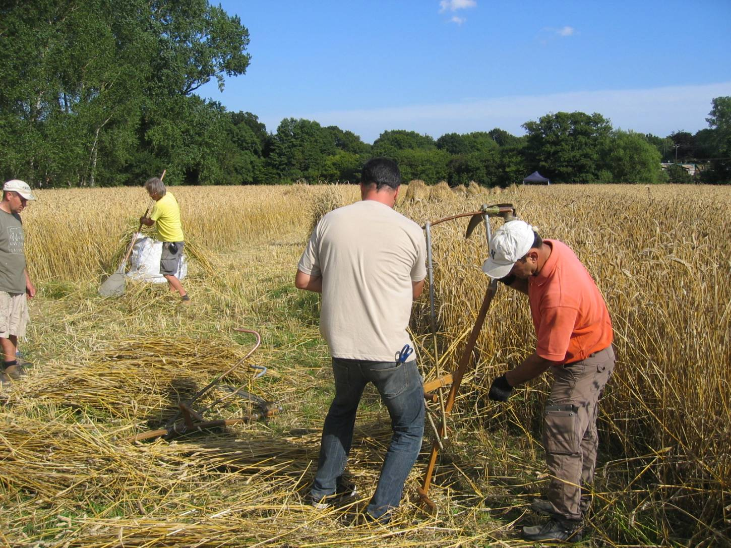 WoWo manual harvest - Steven and Petra's improvised wheat cradle being adjusted by Illinois and Stephen - 6:09pm&nbsp;8<sup>th</sup>&nbsp;Aug.&nbsp;'15