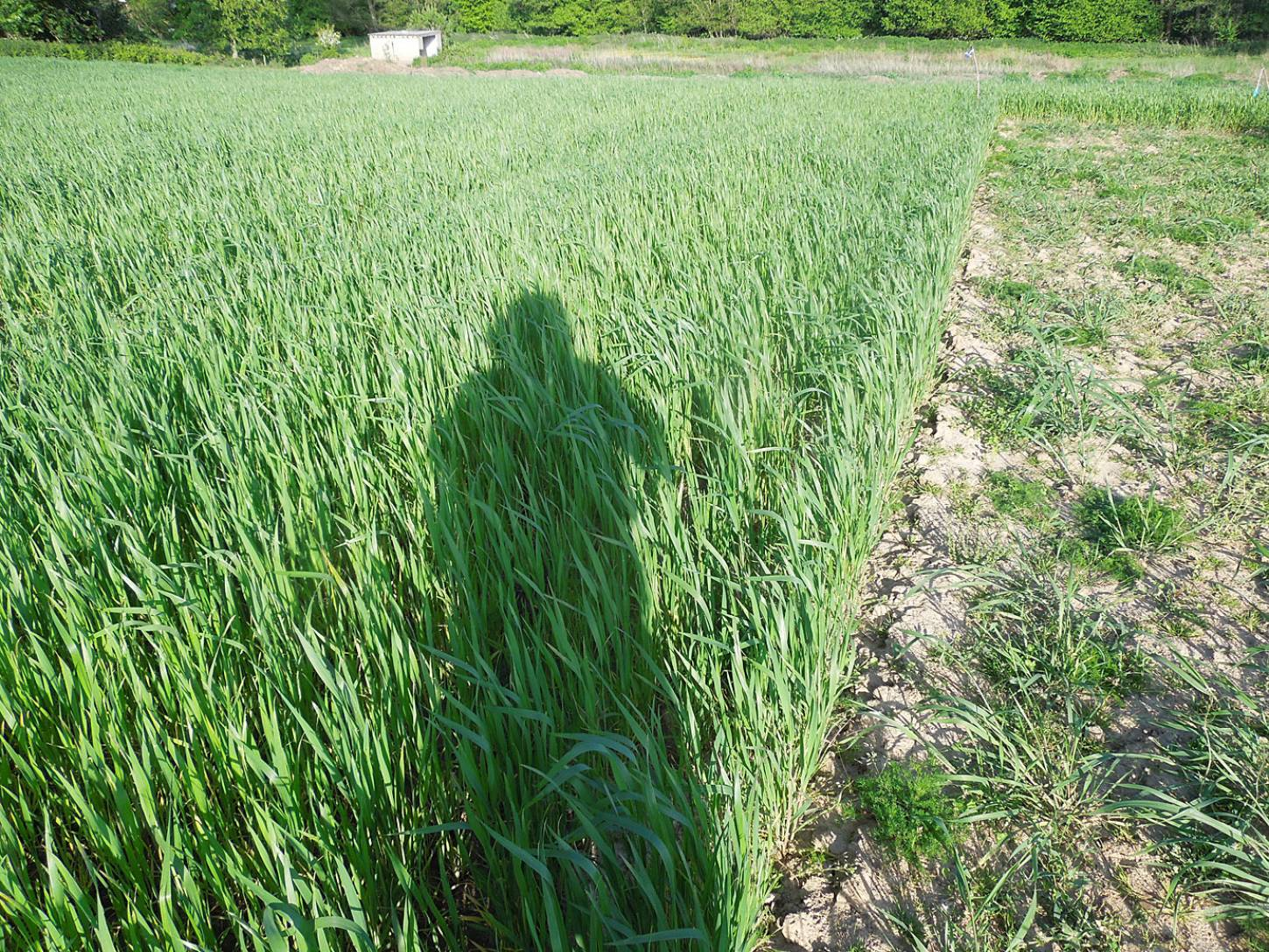 WoWo crop review - Orange Devon Blue Rough Chaff - 6:33pm&nbsp;21<sup>st</sup>&nbsp;May.&nbsp;'15