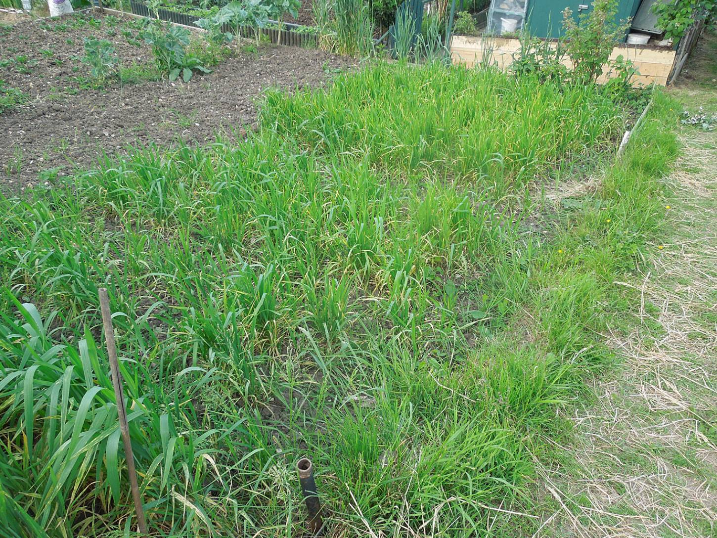 various purple naked spelt sowings, plot review - 7:59pm&nbsp;29<sup>th</sup>&nbsp;May.&nbsp;'16