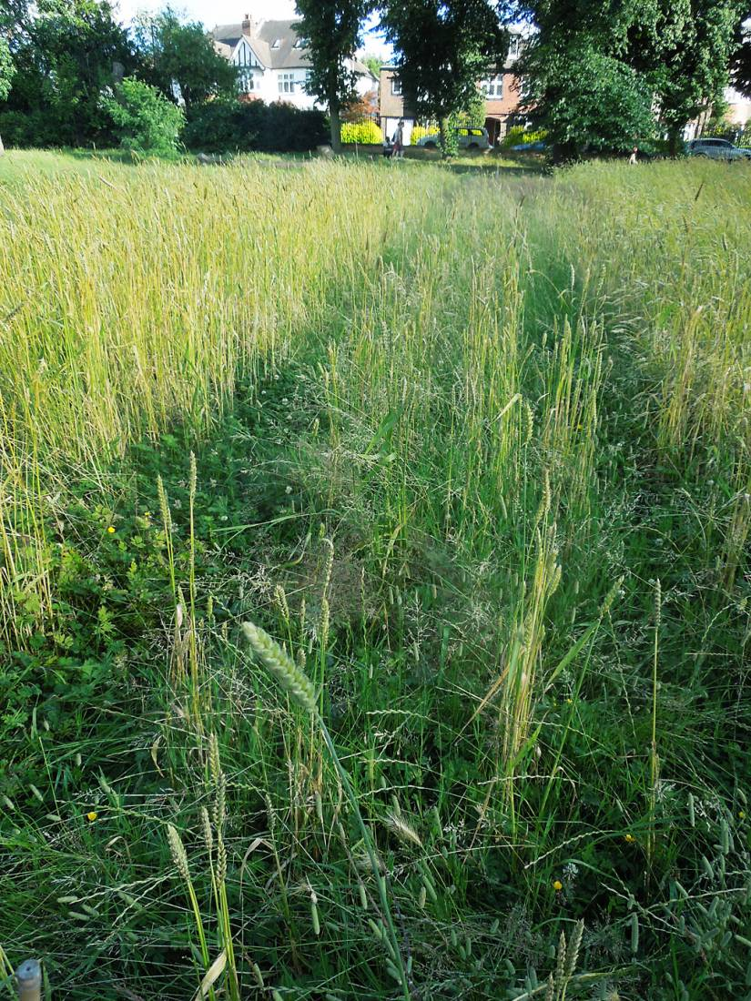 more or less failed purple naked spelt, Ruskin Park plot review July - 6:25pm&nbsp;17<sup>th</sup>&nbsp;Jul.&nbsp;'16