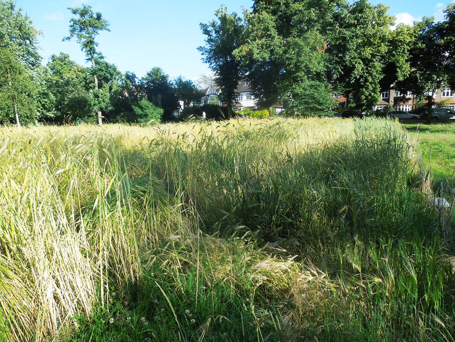 from bottom corner south, naked barley in front, lodged area inside to left, Ruskin Park plot review July - 6:33pm&nbsp;17<sup>th</sup>&nbsp;Jul.&nbsp;'16