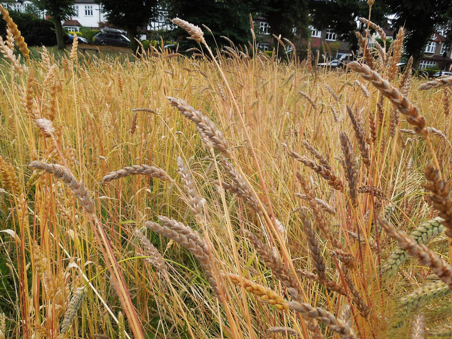 Ruskin Park plot review #3, Orange Devon Blue Rough Chaff with Old Kent Red behind - 1:18pm&nbsp;25<sup>th</sup>&nbsp;Jul.&nbsp;'16