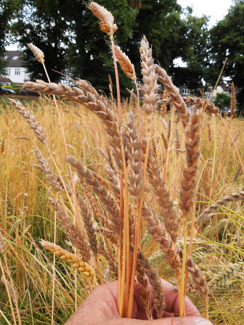 Ruskin Park plot review #3, Orange Devon Blue Rough Chaff - 1:18pm&nbsp;25<sup>th</sup>&nbsp;Jul.&nbsp;'16