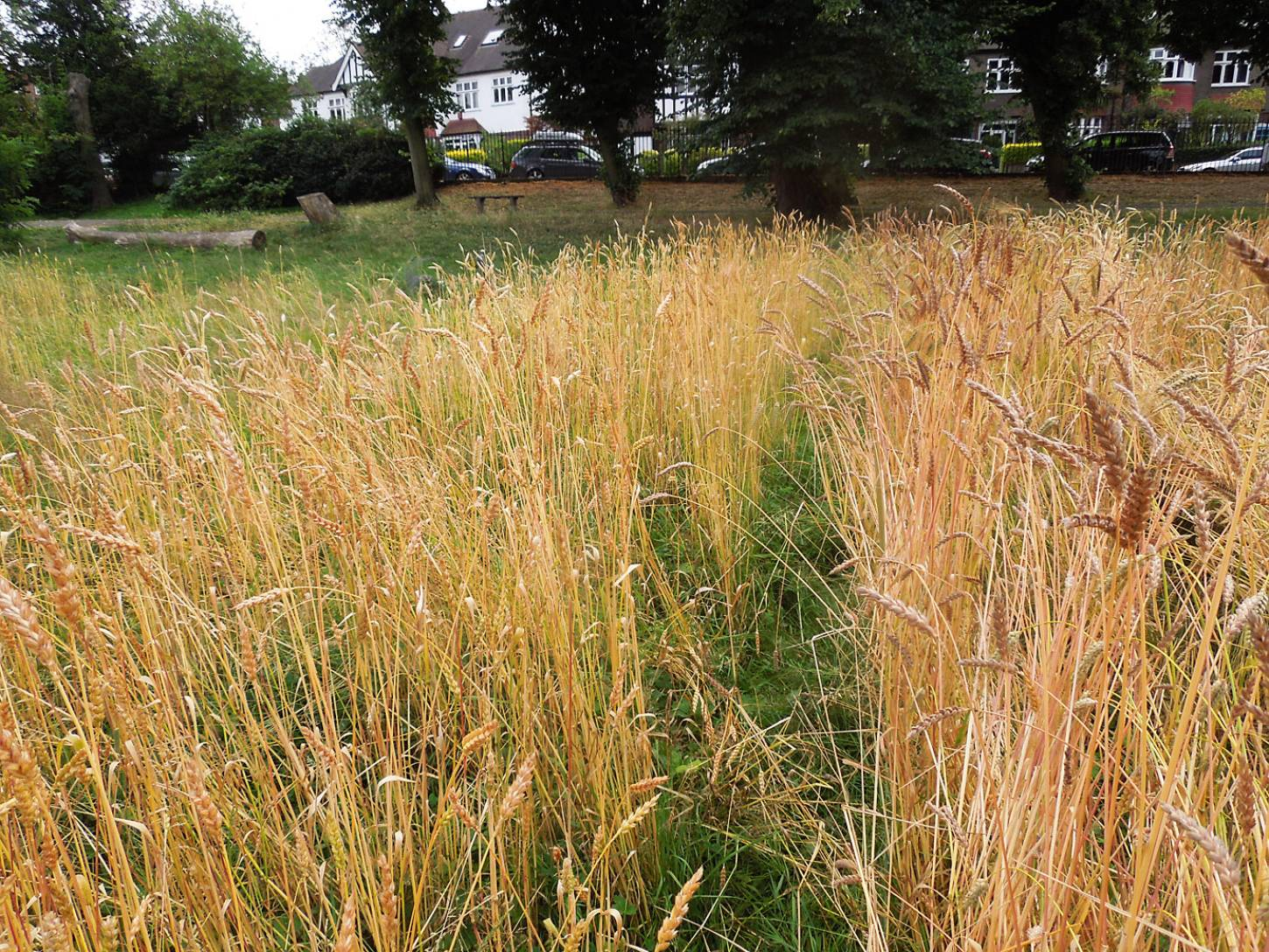 Ruskin Park plot review #3, Orange Devon Blue Rough Chaff on left, Old Kent Red to right and Kent Old Hoary beyond - 1:25pm&nbsp;25<sup>th</sup>&nbsp;Jul.&nbsp;'16