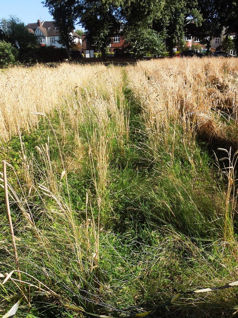 poor area of purple naked spelt, pre-harvest review, Ruskin Park - 5:37pm&nbsp;7<sup>th</sup>&nbsp;Aug.&nbsp;'16
