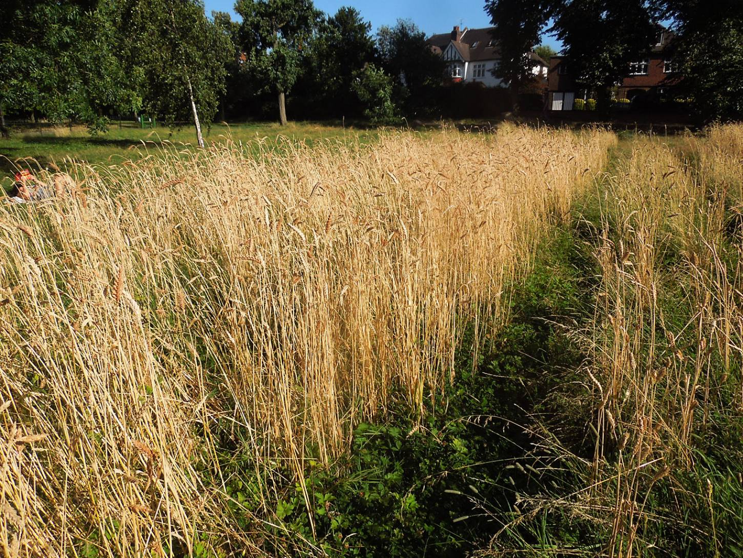 Miller's Choice heritage population, pre-harvest review, Ruskin Park - 5:41pm&nbsp;7<sup>th</sup>&nbsp;Aug.&nbsp;'16