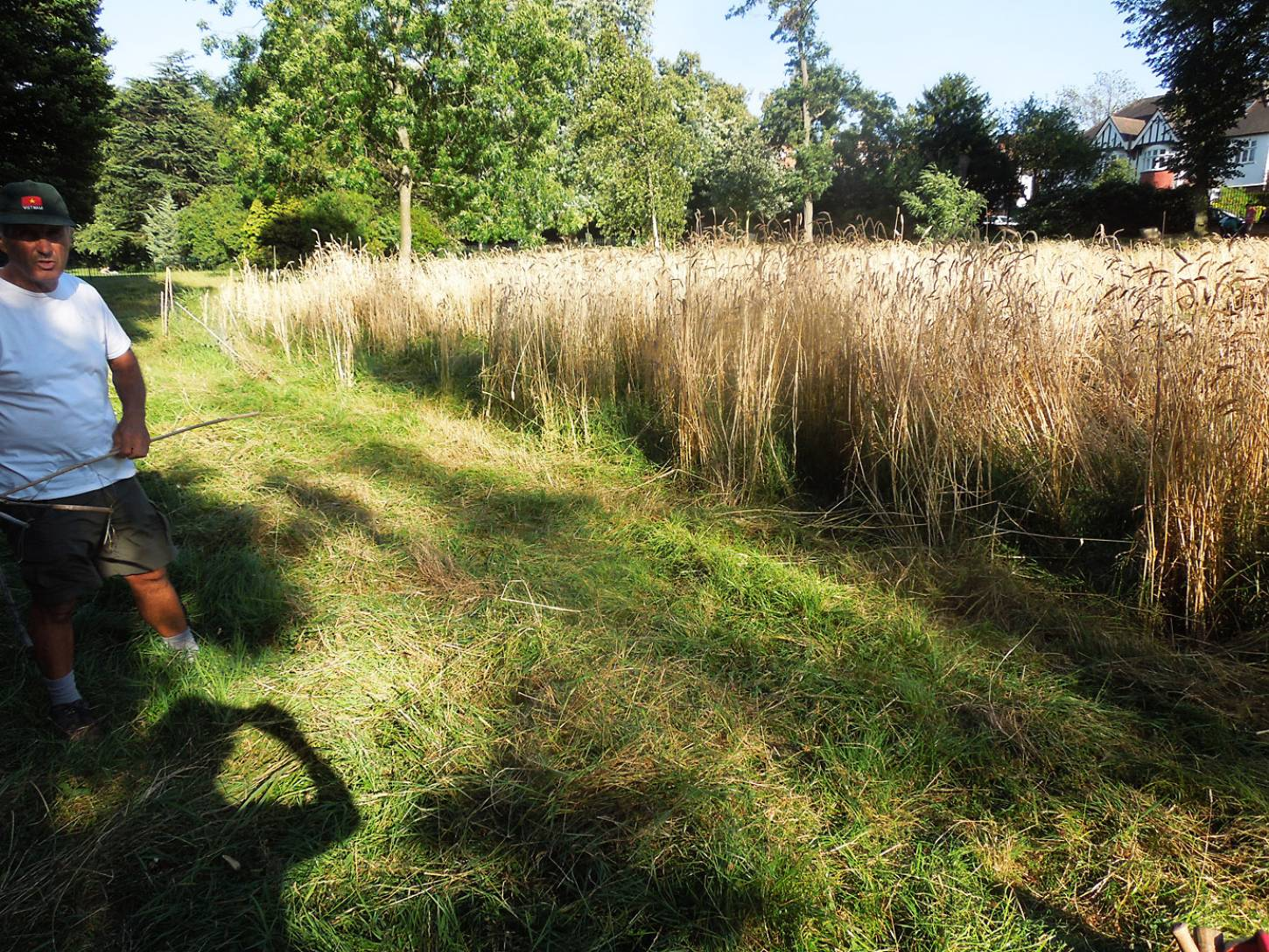 ready for harvest with chair of Friends of Ruskin Park, David Whyte, pre-harvest review, Ruskin Park - 6:10pm&nbsp;7<sup>th</sup>&nbsp;Aug.&nbsp;'16