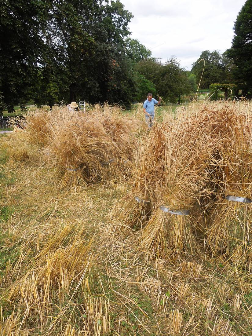 Ruskin Park harvest - 2:57pm&nbsp;8<sup>th</sup>&nbsp;Aug.&nbsp;'16