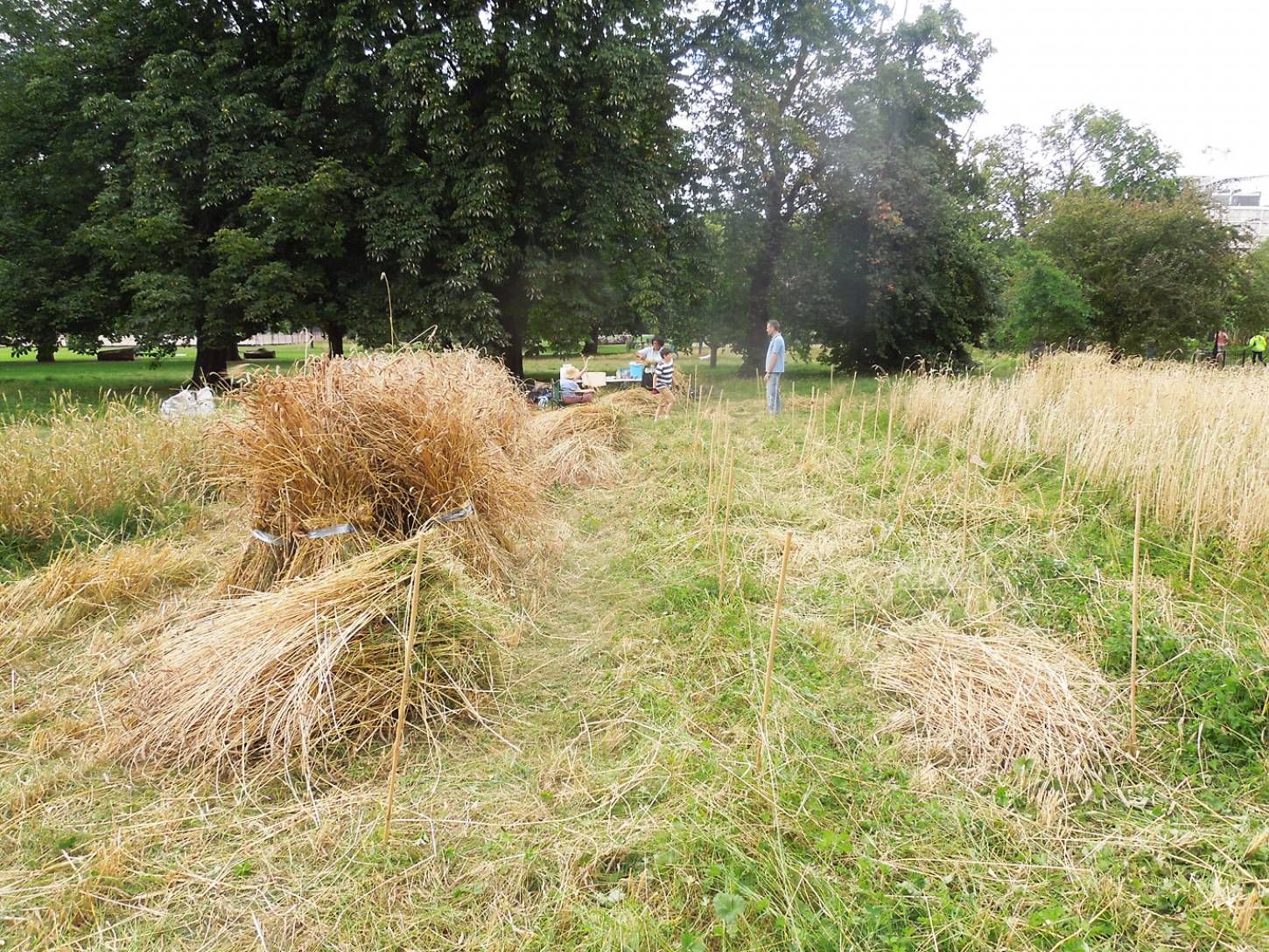 Ruskin Park harvest - 4:03pm&nbsp;8<sup>th</sup>&nbsp;Aug.&nbsp;'16