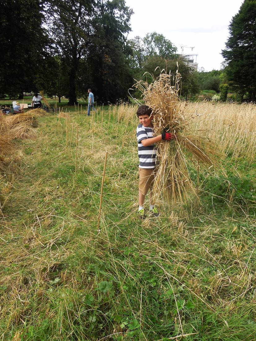 Ruskin Park harvest - 4:06pm&nbsp;8<sup>th</sup>&nbsp;Aug.&nbsp;'16