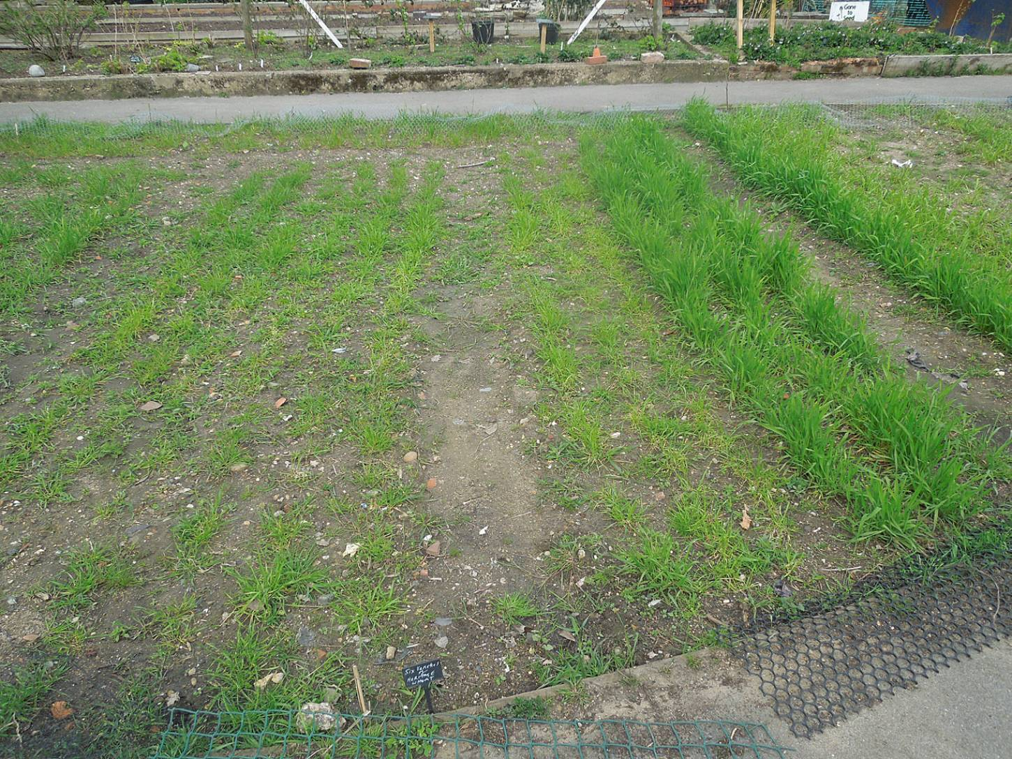 Brockwell Community Greenhouses sowing, rater patchy apart from Blue Cone Rivet (on right) - 12:38pm&nbsp;11<sup>th</sup>&nbsp;Apr.&nbsp;'16