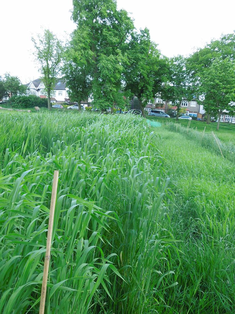 Blue Cone Rivet starting to head with flag leaves, Ruskin Park wheat review #1 - 5:41pm&nbsp;24<sup>th</sup>&nbsp;May.&nbsp;'16