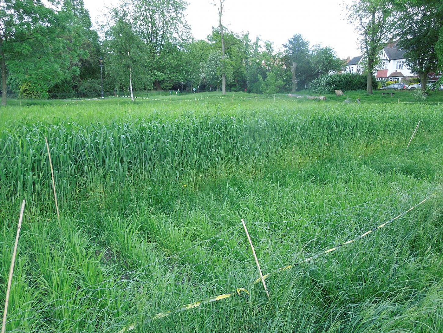 Blue Cone Rivet starting to head with flag leaves with Madeira wheat in front, Ruskin Park wheat review #1 - 5:41pm&nbsp;24<sup>th</sup>&nbsp;May.&nbsp;'16