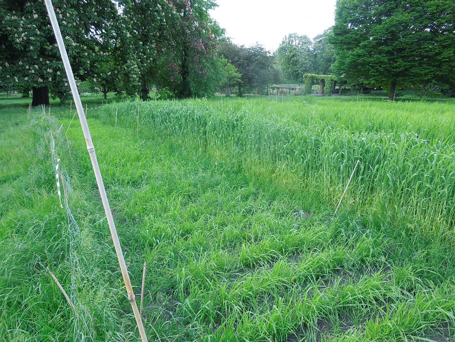 Blue Cone Rivet starting to head with flag leaves, Ruskin Park wheat review #1 - 5:42pm&nbsp;24<sup>th</sup>&nbsp;May.&nbsp;'16