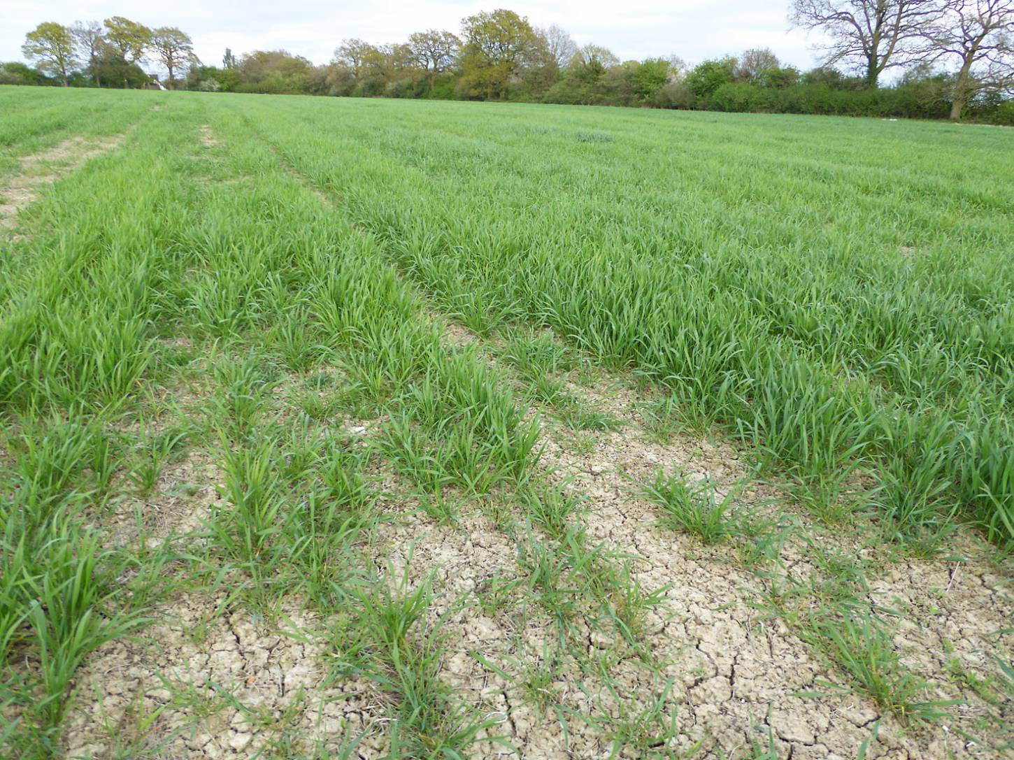 review April '17 - Miller's Choice heritage winter wheat population with some crow damage at front but otherwise quite nice. - 6:20pm&nbsp;12<sup>th</sup>&nbsp;Apr.&nbsp;'17