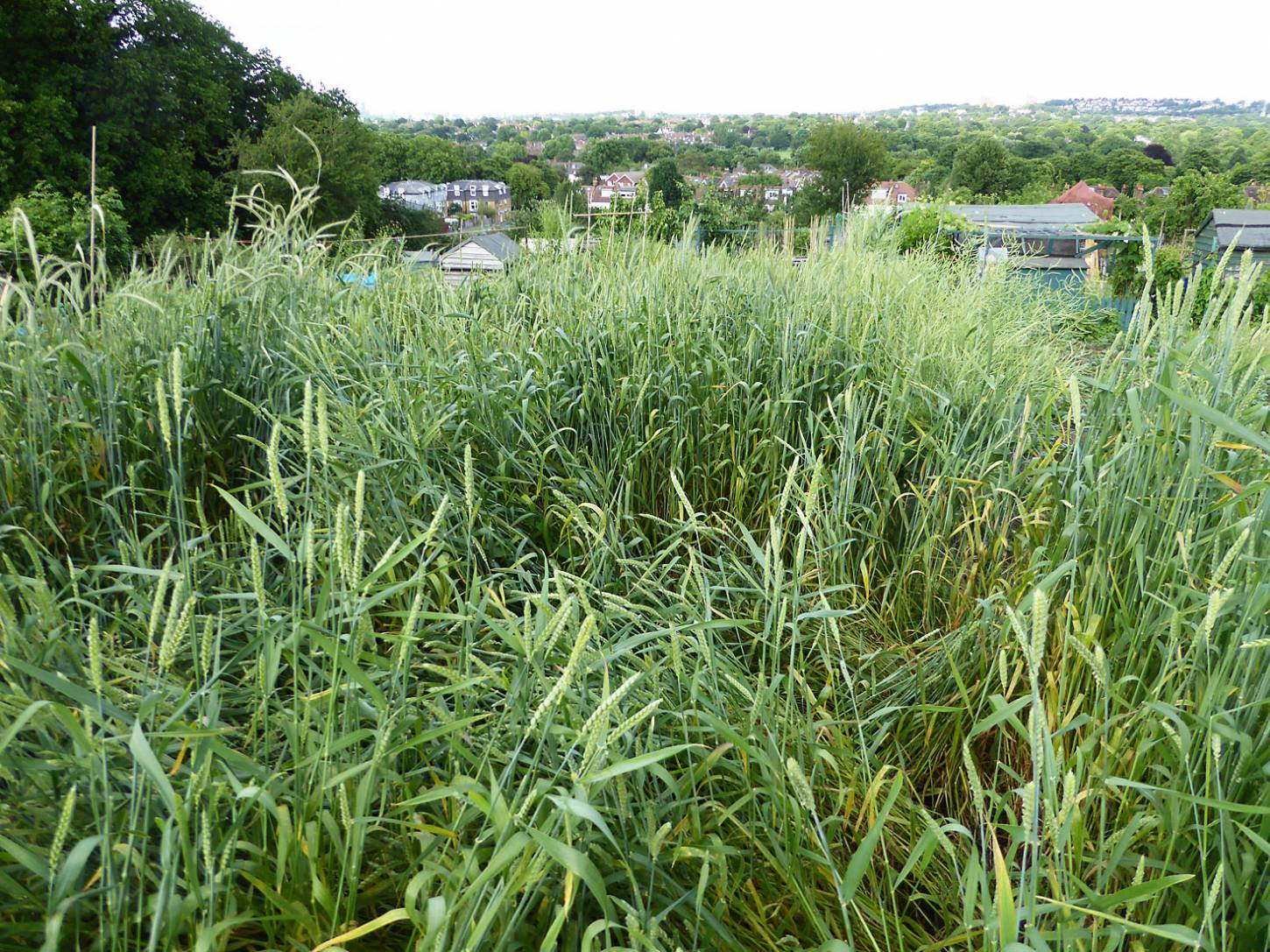 some lodging amongst Purple Naked Spelt, plot review late May/early June - 6:37pm&nbsp;3<sup>rd</sup>&nbsp;Jun.&nbsp;'17  <a href='http://maps.google.com/?t=h&q=51.444119,-0.101400&z=18&output=embed' target=_blank><img src='http://www.brockwell-bake.org.uk/img/marker.png' style='border:none;vertical-align:top' height=16px></a>