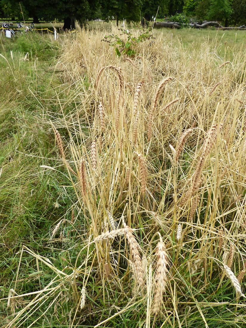 Ruskin Park 'Lys Brun' Swedish wheat harvest 2017 - 11:21am&nbsp;25<sup>th</sup>&nbsp;Jul.&nbsp;'17  <a href='http://maps.google.com/?t=h&q=51.464883,-0.092500&z=18&output=embed' target=_blank><img src='http://www.brockwell-bake.org.uk/img/marker.png' style='border:none;vertical-align:top' height=16px></a>