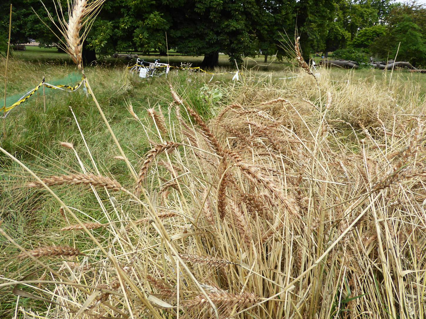 Ruskin Park 'Lys Brun' Swedish wheat harvest 2017 - 1:00pm&nbsp;25<sup>th</sup>&nbsp;Jul.&nbsp;'17  <a href='http://maps.google.com/?t=h&q=51.464925,-0.092508&z=18&output=embed' target=_blank><img src='http://www.brockwell-bake.org.uk/img/marker.png' style='border:none;vertical-align:top' height=16px></a>