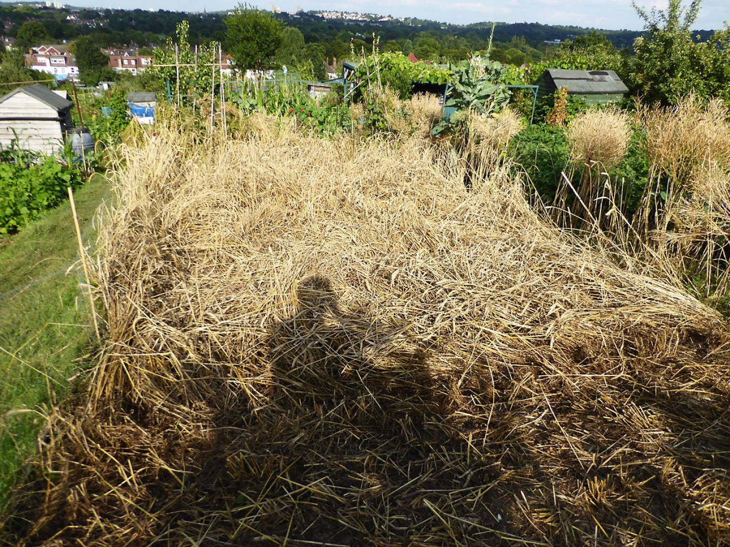 bit of a lodged pickle to be sorted, plot harvest 2017 - 5:40pm&nbsp;25<sup>th</sup>&nbsp;Jul.&nbsp;'17  <a href='http://maps.google.com/?t=h&q=51.444156,-0.101317&z=18&output=embed' target=_blank><img src='http://www.brockwell-bake.org.uk/img/marker.png' style='border:none;vertical-align:top' height=16px></a>