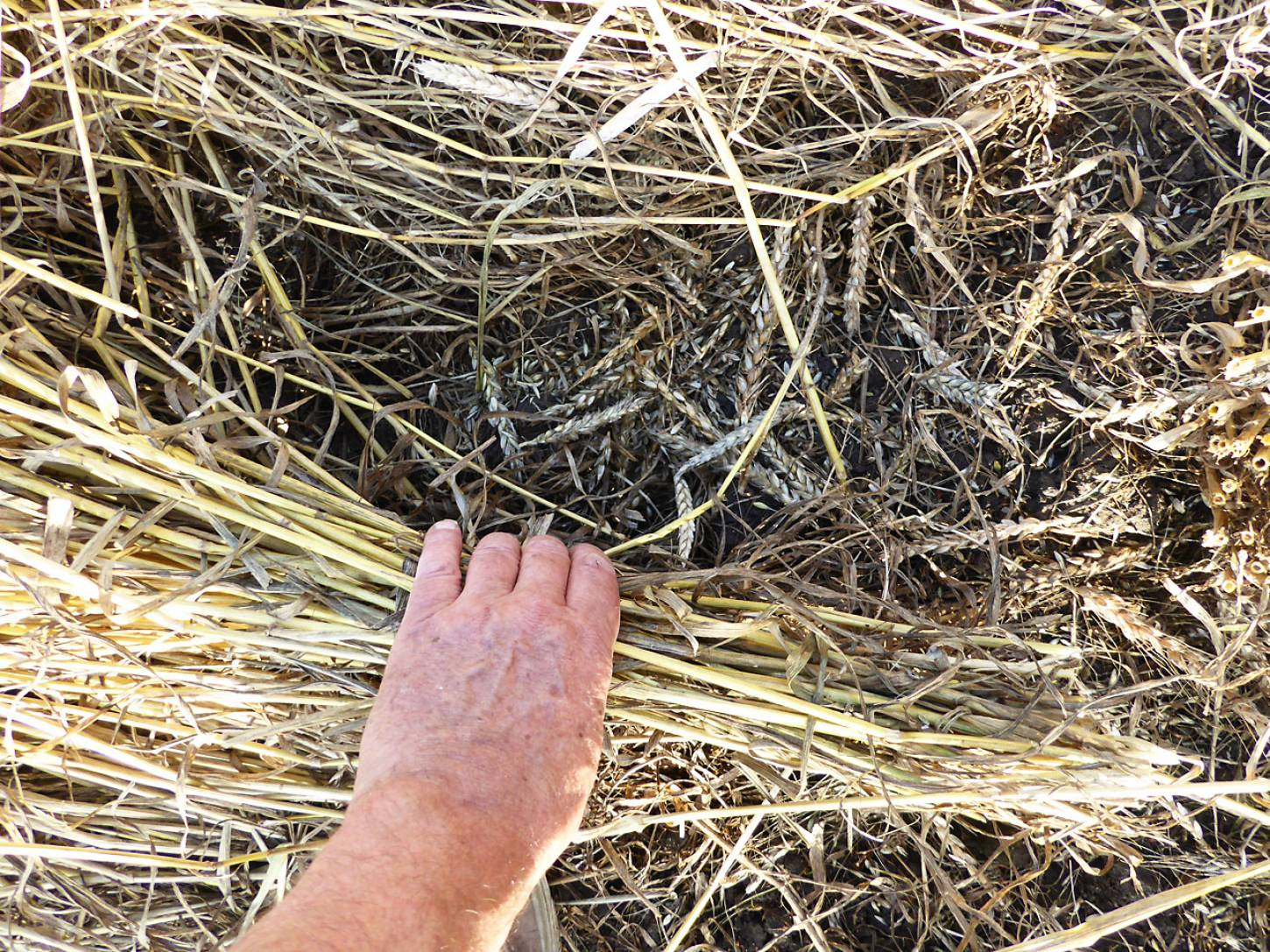 mice have made a grain store - plot harvest 2017 - 6:13pm&nbsp;25<sup>th</sup>&nbsp;Jul.&nbsp;'17