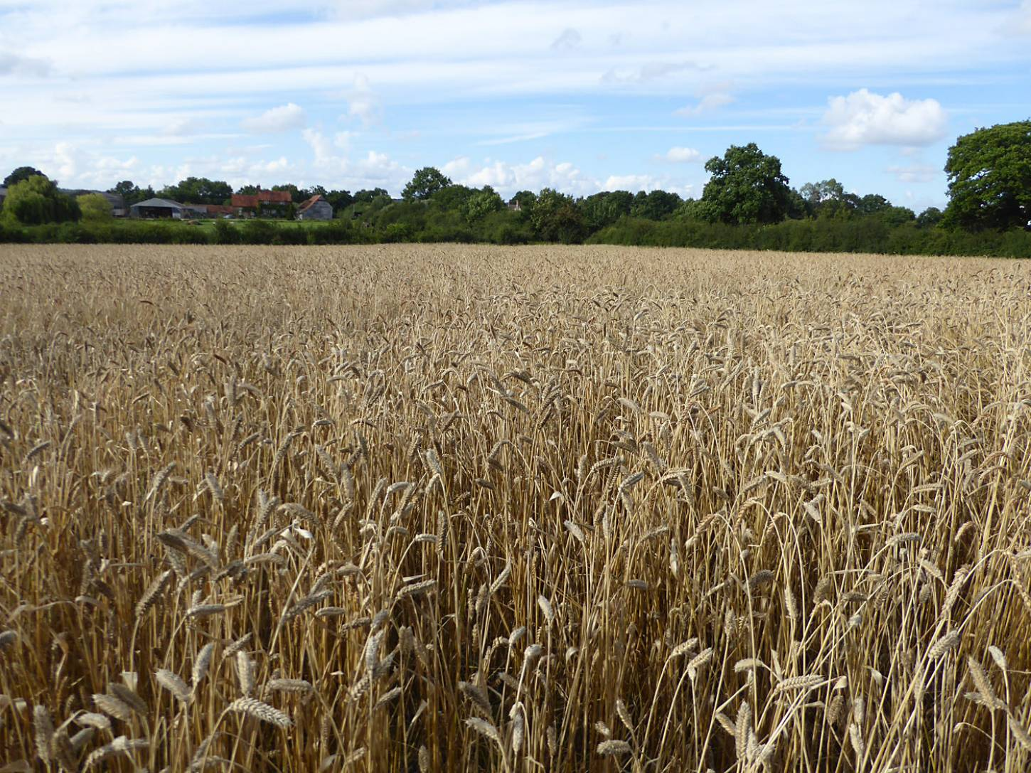 Miller's Choice heritage winter wheat population undersown with modern Nelson wheat, farm review pre-harvest '17 - 5:40pm&nbsp;1<sup>st</sup>&nbsp;Aug.&nbsp;'17