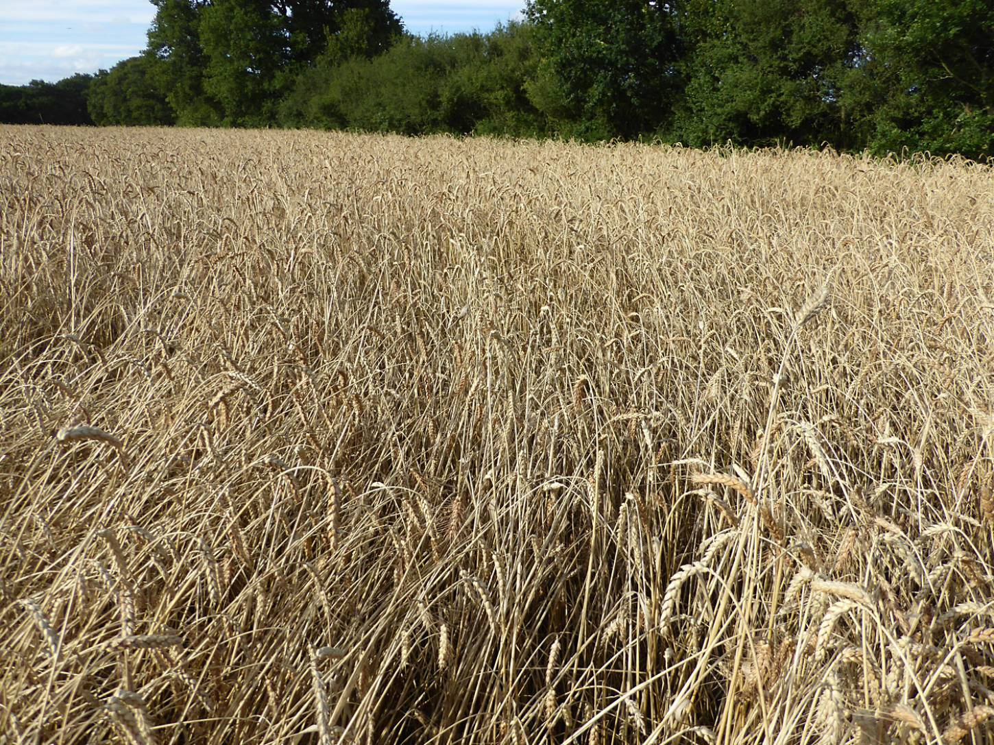 Miller's Choice heritage winter wheat population, farm review pre-harvest '17 - 5:58pm&nbsp;1<sup>st</sup>&nbsp;Aug.&nbsp;'17  <a href='http://maps.google.com/?t=h&q=51.207992,-0.087167&z=18&output=embed' target=_blank><img src='http://www.brockwell-bake.org.uk/img/marker.png' style='border:none;vertical-align:top' height=16px></a>