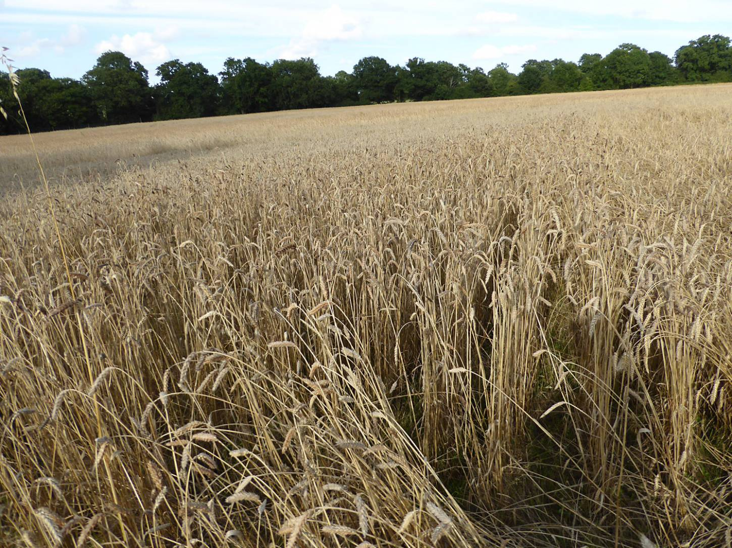 Purple Naked Spelt population, farm review pre-harvest '17 - 6:05pm&nbsp;1<sup>st</sup>&nbsp;Aug.&nbsp;'17  <a href='http://maps.google.com/?t=h&q=51.208325,-0.086786&z=18&output=embed' target=_blank><img src='http://www.brockwell-bake.org.uk/img/marker.png' style='border:none;vertical-align:top' height=16px></a>