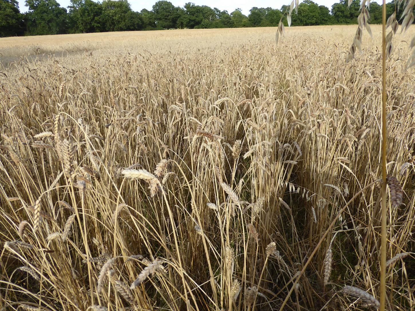 Purple Naked Spelt population, farm review pre-harvest '17 - 6:06pm&nbsp;1<sup>st</sup>&nbsp;Aug.&nbsp;'17  <a href='http://maps.google.com/?t=h&q=51.208475,-0.086797&z=18&output=embed' target=_blank><img src='http://www.brockwell-bake.org.uk/img/marker.png' style='border:none;vertical-align:top' height=16px></a>