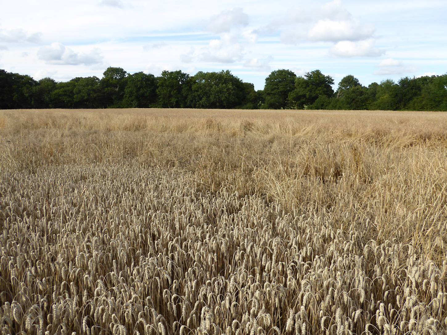 Old Kent Red,an area of lodging, standing crop behind, Nelson modern wheat in front, farm review pre-harvest '17 - 6:15pm&nbsp;1<sup>st</sup>&nbsp;Aug.&nbsp;'17  <a href='http://maps.google.com/?t=h&q=51.208178,-0.085503&z=18&output=embed' target=_blank><img src='http://www.brockwell-bake.org.uk/img/marker.png' style='border:none;vertical-align:top' height=16px></a>