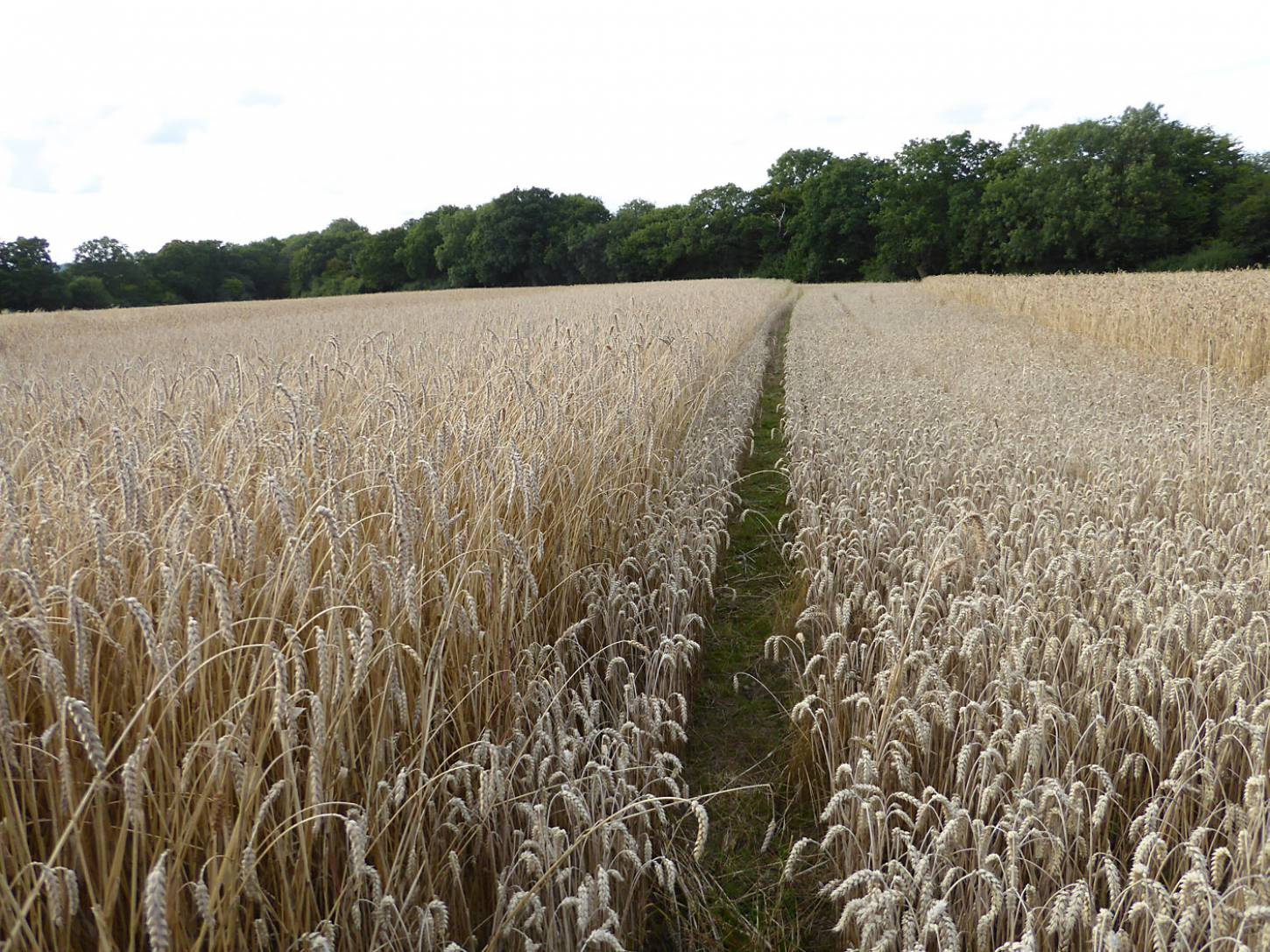 Hen Gymro S70 on left, modern Nelson wheat in middle, Ble de Flandre on right, farm review pre-harvest '17 - 6:20pm&nbsp;1<sup>st</sup>&nbsp;Aug.&nbsp;'17  <a href='http://maps.google.com/?t=h&q=51.208383,-0.084958&z=18&output=embed' target=_blank><img src='http://www.brockwell-bake.org.uk/img/marker.png' style='border:none;vertical-align:top' height=16px></a>
