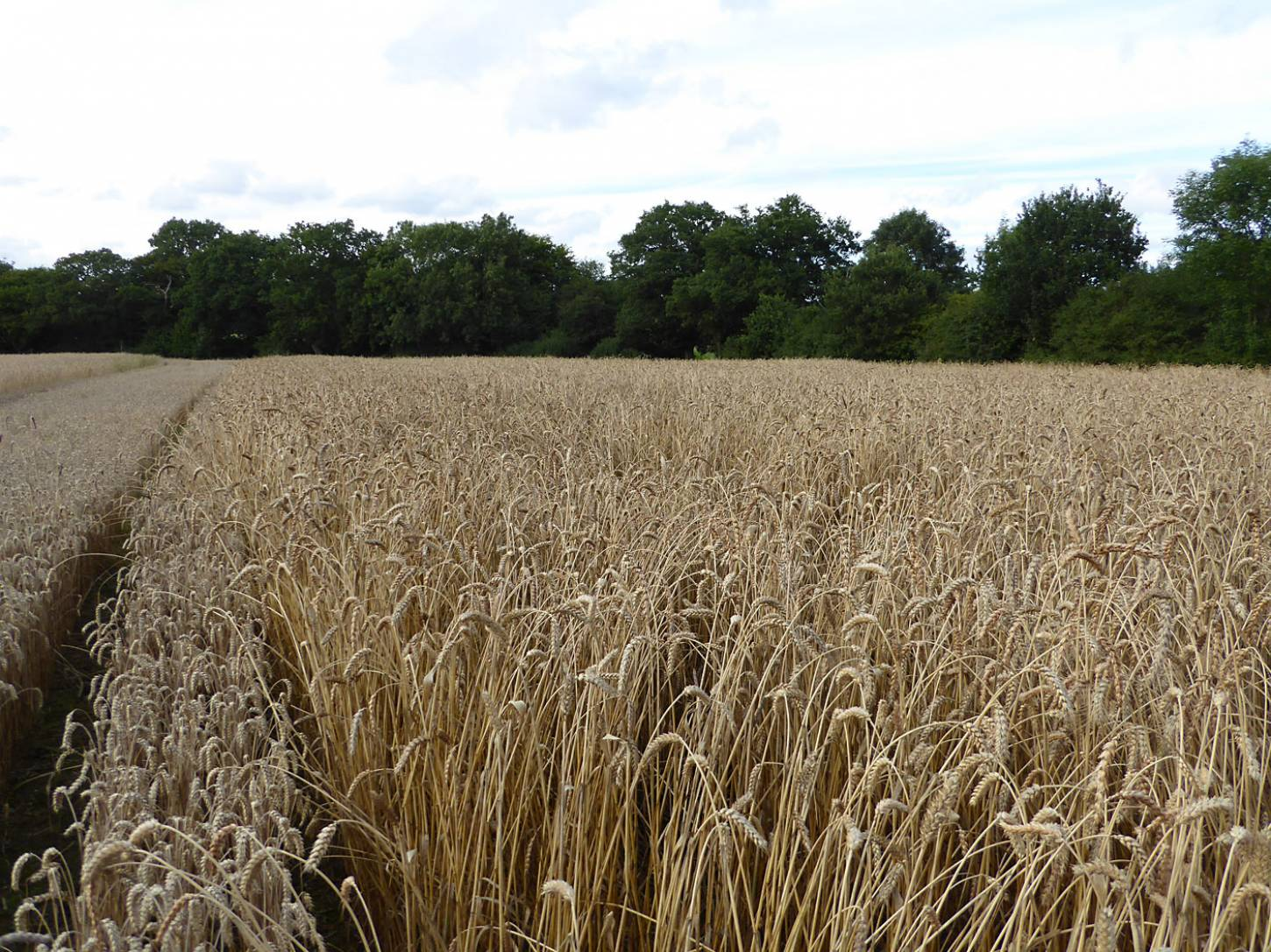 Ble de Flandre right, strip of modern Nelson wheat to left, farm review pre-harvest '17 - 6:21pm&nbsp;1<sup>st</sup>&nbsp;Aug.&nbsp;'17  <a href='http://maps.google.com/?t=h&q=51.208278,-0.084950&z=18&output=embed' target=_blank><img src='http://www.brockwell-bake.org.uk/img/marker.png' style='border:none;vertical-align:top' height=16px></a>