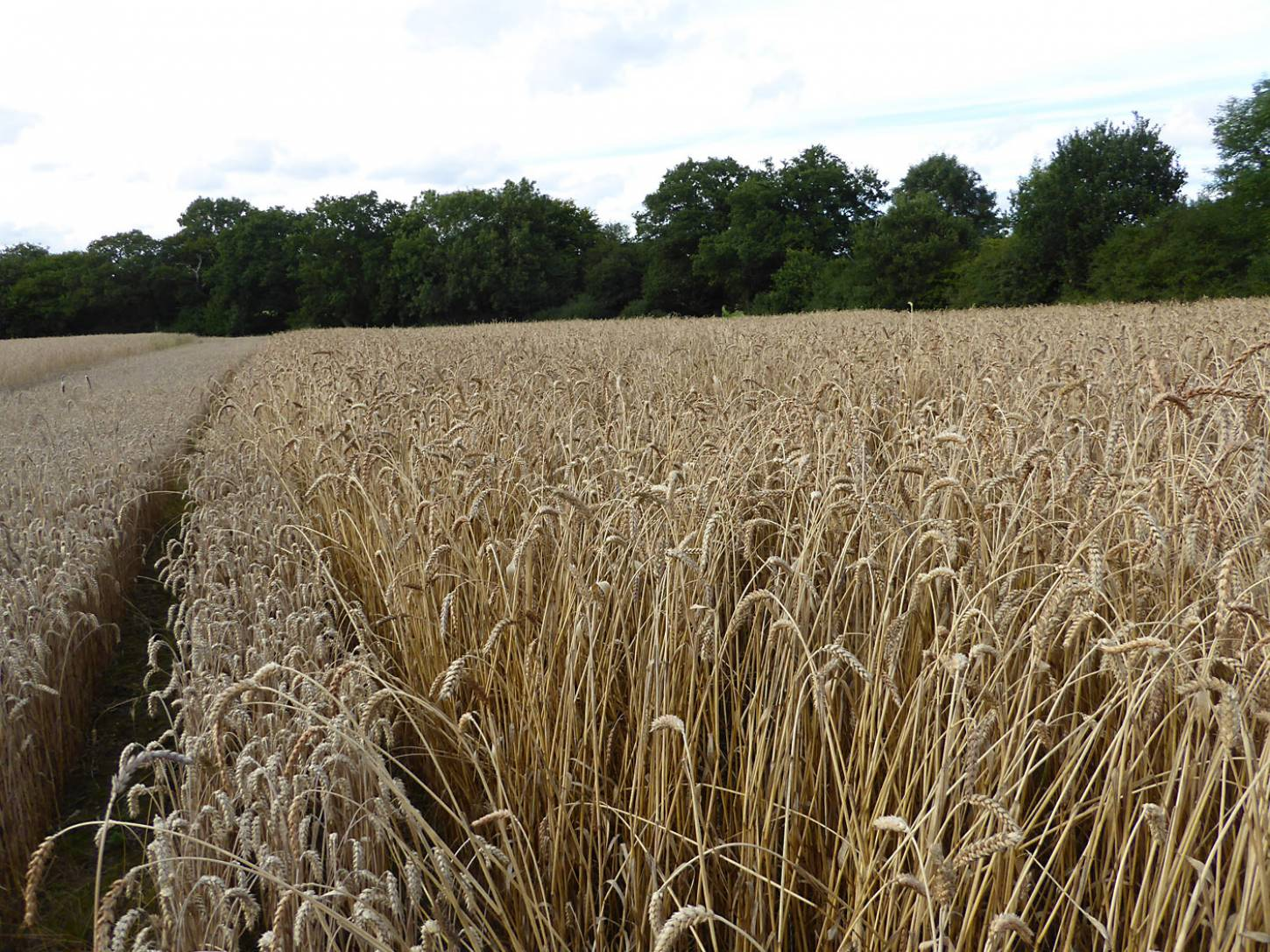 Ble de Flandre right, strip of modern Nelson wheat to left, farm review pre-harvest '17 - 6:21pm&nbsp;1<sup>st</sup>&nbsp;Aug.&nbsp;'17  <a href='http://maps.google.com/?t=h&q=51.208383,-0.084958&z=18&output=embed' target=_blank><img src='http://www.brockwell-bake.org.uk/img/marker.png' style='border:none;vertical-align:top' height=16px></a>