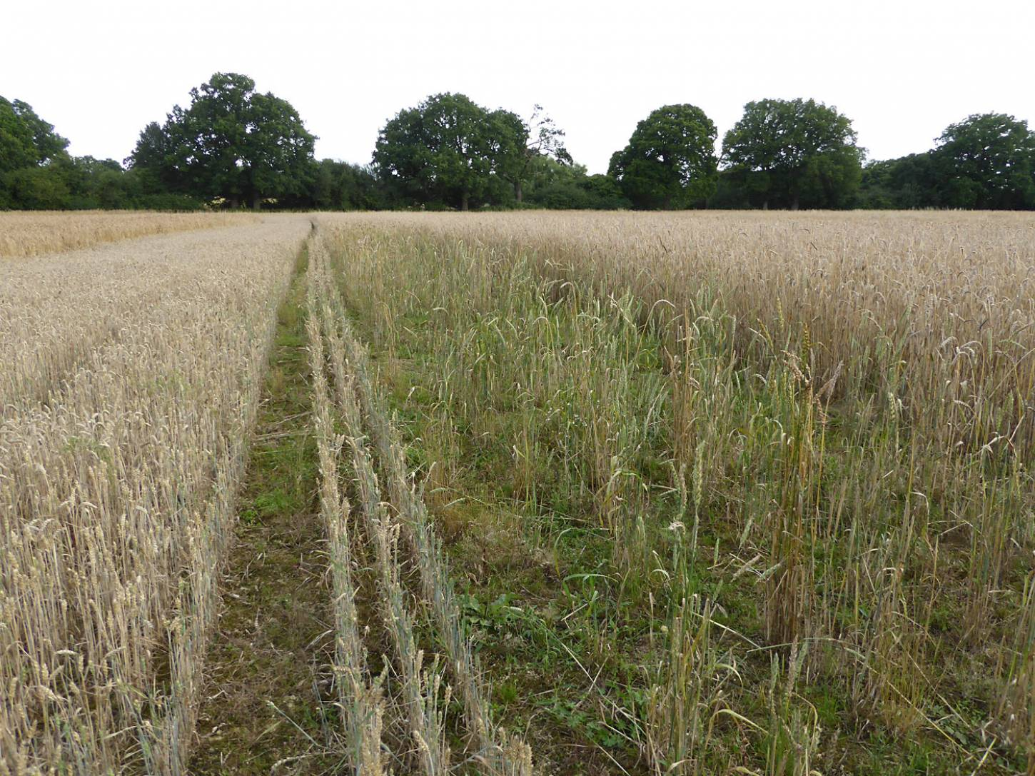 area between Hen Gymro S70 and Nelson with rabbit damage? Secondary tillering of damaged plants? farm review pre-harvest '17 - 6:25pm&nbsp;1<sup>st</sup>&nbsp;Aug.&nbsp;'17  <a href='http://maps.google.com/?t=h&q=51.208869,-0.085211&z=18&output=embed' target=_blank><img src='http://www.brockwell-bake.org.uk/img/marker.png' style='border:none;vertical-align:top' height=16px></a>
