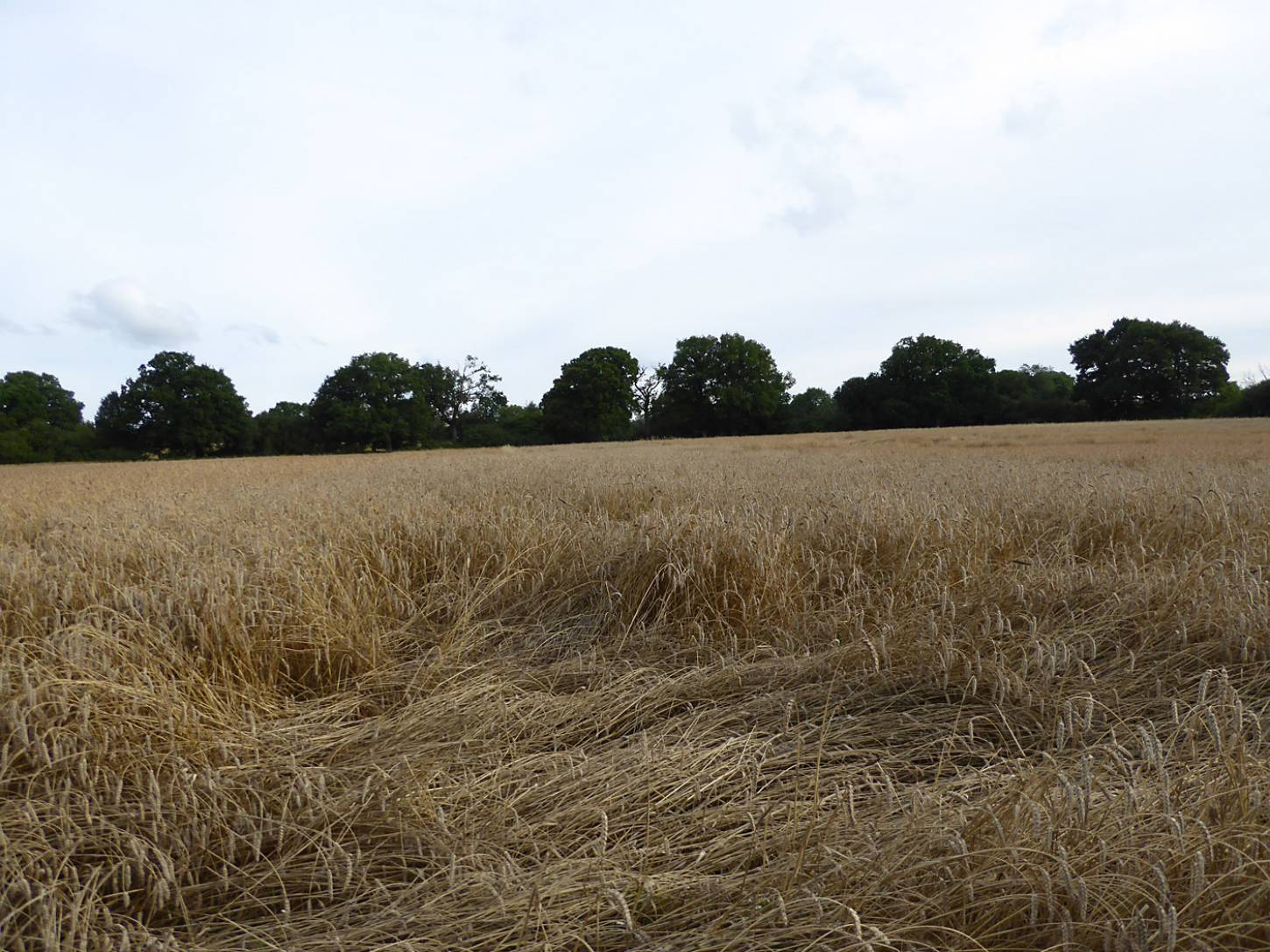 some lodging on Kent Old Hoary, farm review pre-harvest '17 - 6:28pm&nbsp;1<sup>st</sup>&nbsp;Aug.&nbsp;'17  <a href='http://maps.google.com/?t=h&q=51.209278,-0.085778&z=18&output=embed' target=_blank><img src='http://www.brockwell-bake.org.uk/img/marker.png' style='border:none;vertical-align:top' height=16px></a>