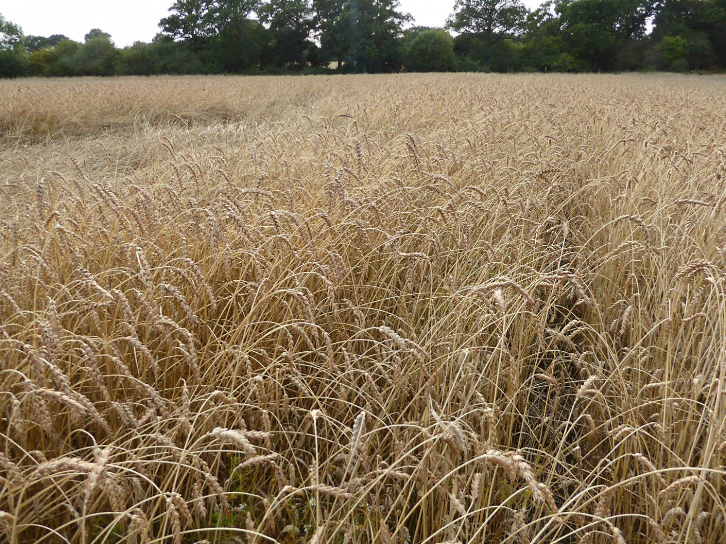 Red Lammas, farm review pre-harvest '17 - 6:29pm&nbsp;1<sup>st</sup>&nbsp;Aug.&nbsp;'17  <a href='http://maps.google.com/?t=h&q=51.209228,-0.085994&z=18&output=embed' target=_blank><img src='http://www.brockwell-bake.org.uk/img/marker.png' style='border:none;vertical-align:top' height=16px></a>