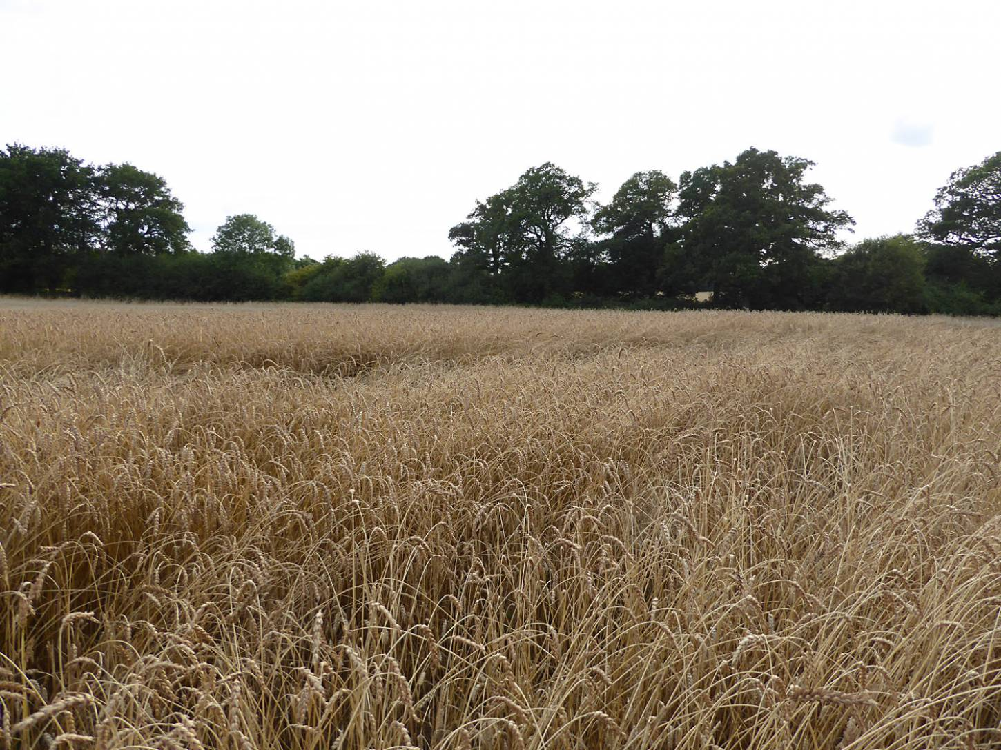 Red Lammas, farm review pre-harvest '17 - 6:29pm&nbsp;1<sup>st</sup>&nbsp;Aug.&nbsp;'17  <a href='http://maps.google.com/?t=h&q=51.209397,-0.086144&z=18&output=embed' target=_blank><img src='http://www.brockwell-bake.org.uk/img/marker.png' style='border:none;vertical-align:top' height=16px></a>