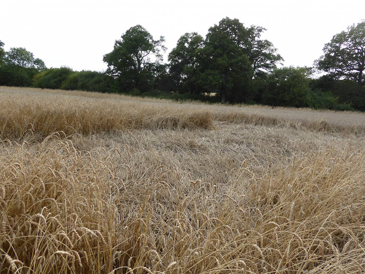 area of lodging on Ble de Haie, farm review pre-harvest '17 - 6:30pm&nbsp;1<sup>st</sup>&nbsp;Aug.&nbsp;'17  <a href='http://maps.google.com/?t=h&q=51.209500,-0.086397&z=18&output=embed' target=_blank><img src='http://www.brockwell-bake.org.uk/img/marker.png' style='border:none;vertical-align:top' height=16px></a>