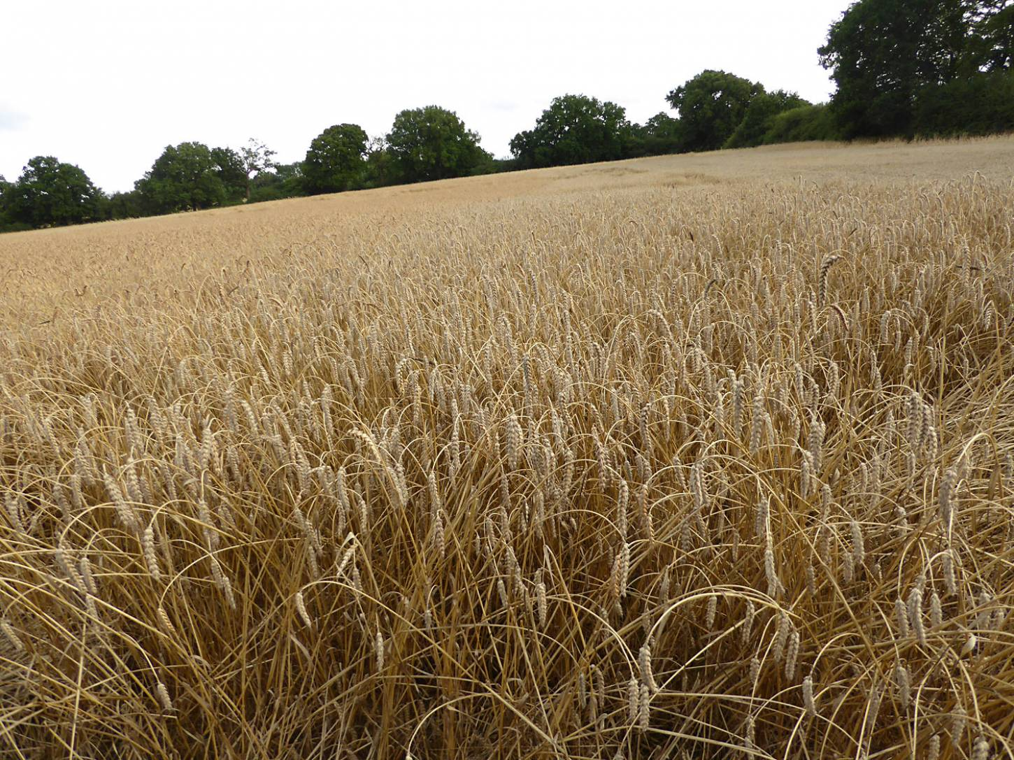 Ble de Haie, farm review pre-harvest '17 - 6:31pm&nbsp;1<sup>st</sup>&nbsp;Aug.&nbsp;'17  <a href='http://maps.google.com/?t=h&q=51.209500,-0.086397&z=18&output=embed' target=_blank><img src='http://www.brockwell-bake.org.uk/img/marker.png' style='border:none;vertical-align:top' height=16px></a>