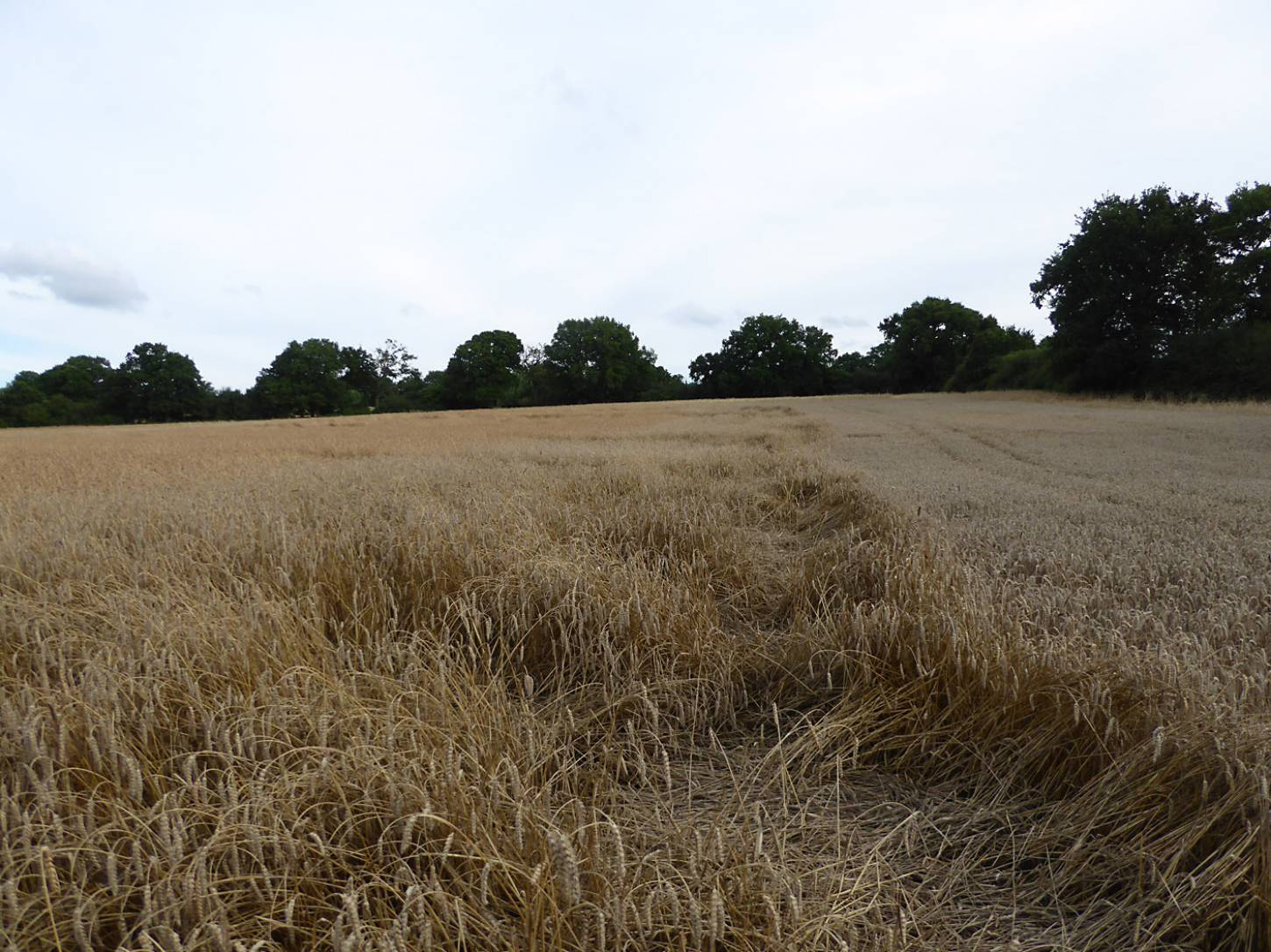 some lodging on Ble de Haie, next to some modern Nelson on right, farm review pre-harvest '17 - 6:31pm&nbsp;1<sup>st</sup>&nbsp;Aug.&nbsp;'17  <a href='http://maps.google.com/?t=h&q=51.209481,-0.086678&z=18&output=embed' target=_blank><img src='http://www.brockwell-bake.org.uk/img/marker.png' style='border:none;vertical-align:top' height=16px></a>