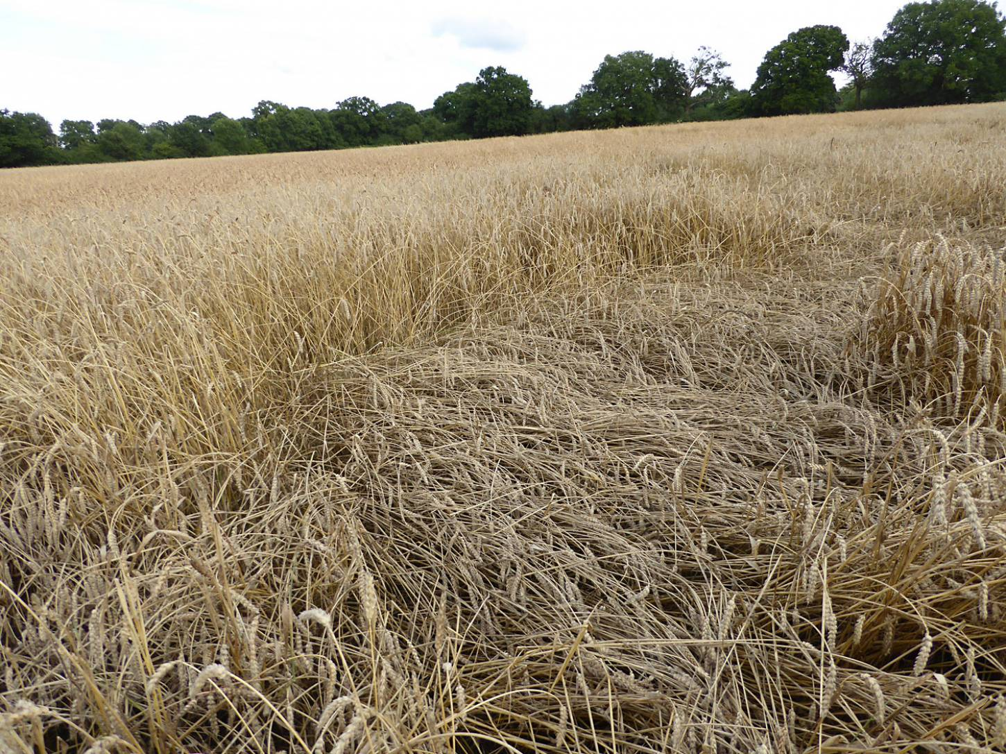 some lodging on Ble de Haie, farm review pre-harvest '17 - 6:32pm&nbsp;1<sup>st</sup>&nbsp;Aug.&nbsp;'17  <a href='http://maps.google.com/?t=h&q=51.209353,-0.086822&z=18&output=embed' target=_blank><img src='http://www.brockwell-bake.org.uk/img/marker.png' style='border:none;vertical-align:top' height=16px></a>